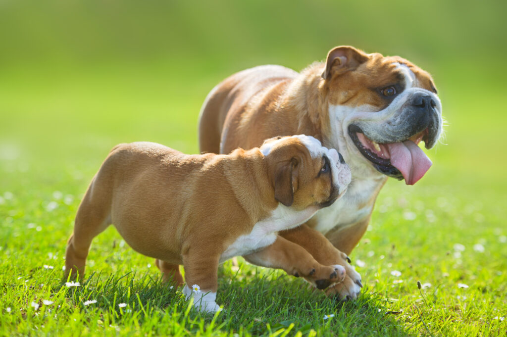 bulldog and bulldog puppy