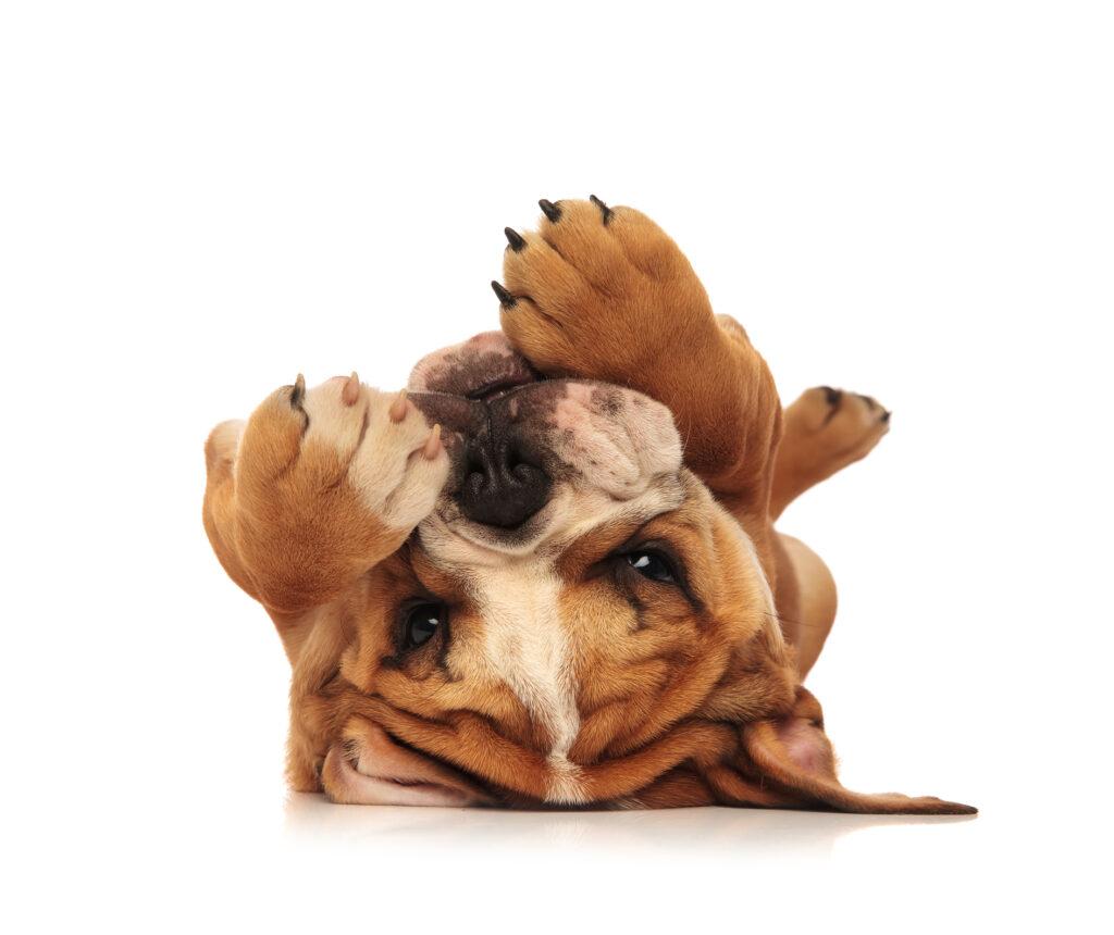 bulldog laying upside down