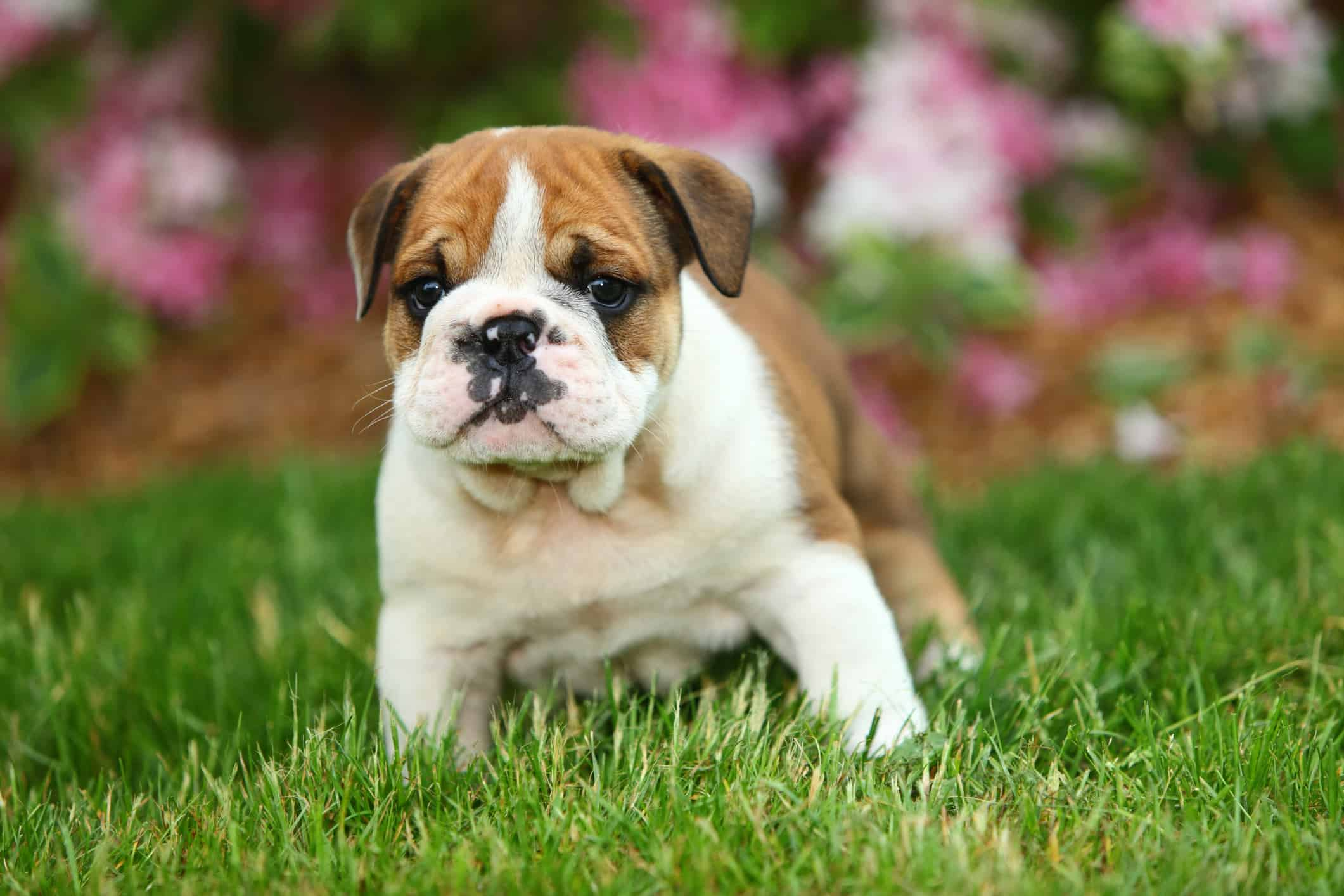 bulldog puppy sitting in grass