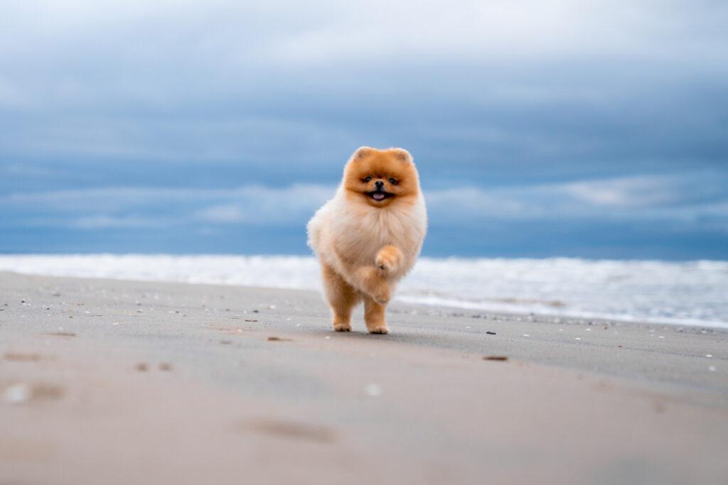 pomeranian at the beach