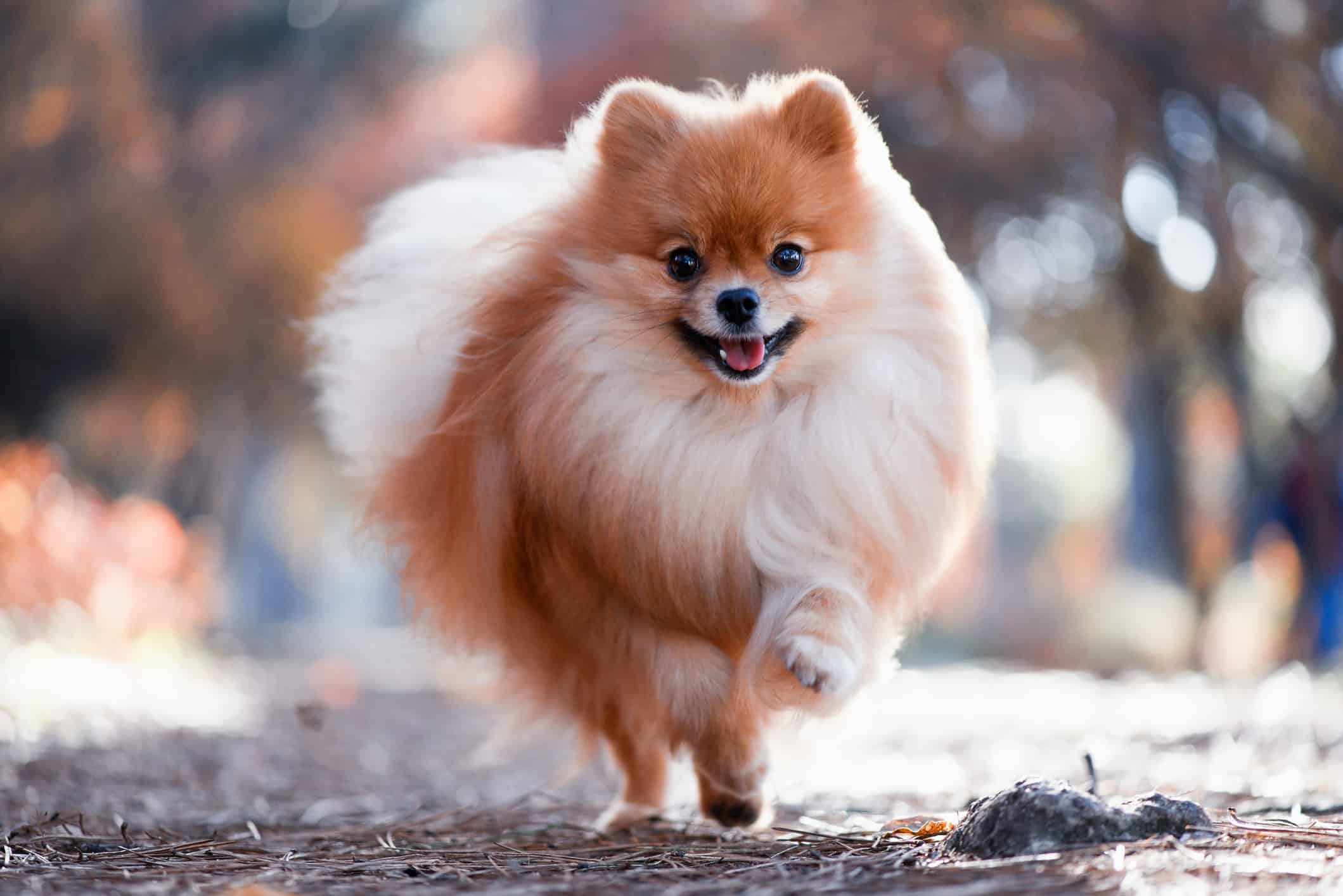 pomeranian running and happy