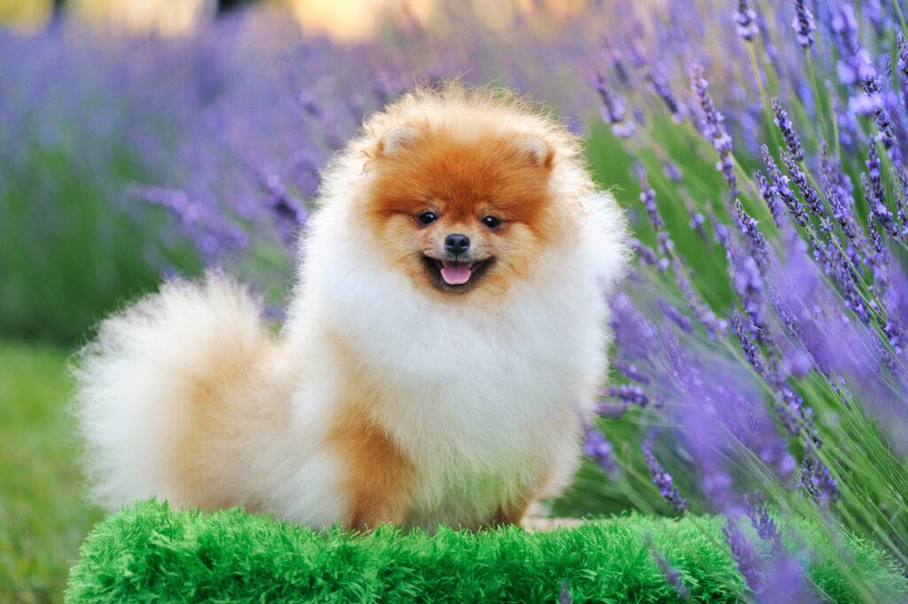 pretty pomeranian sitting in the grass