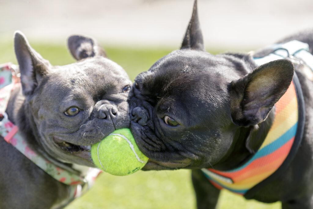 two french bulldogs playing with tennis ball