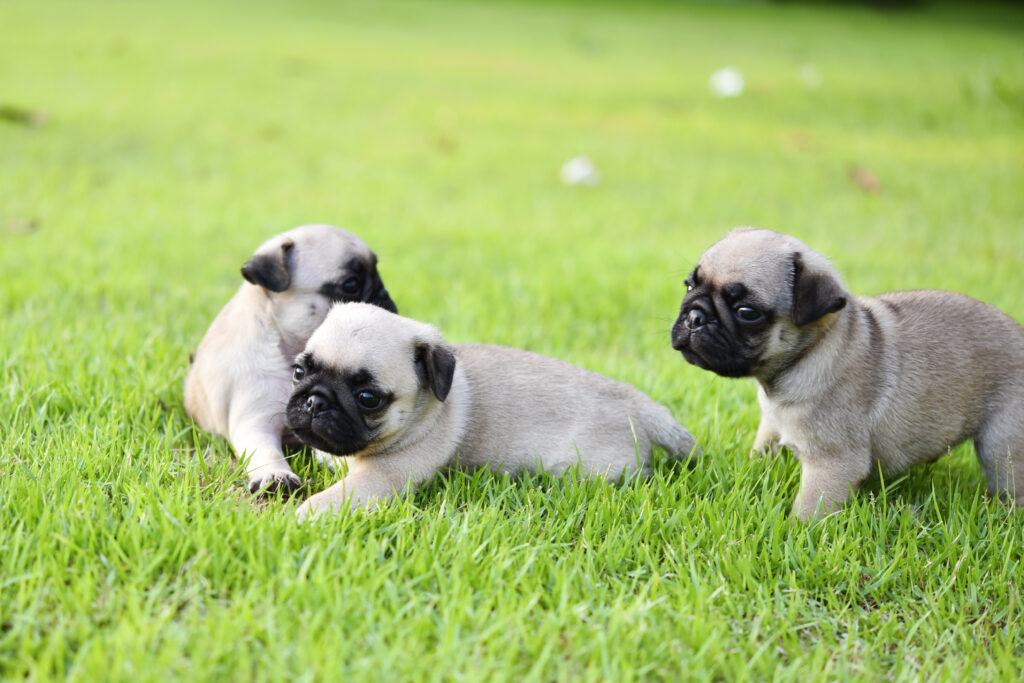 pug puppies in the grass