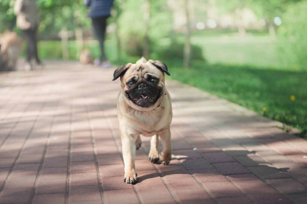 pug walking on sidewalk