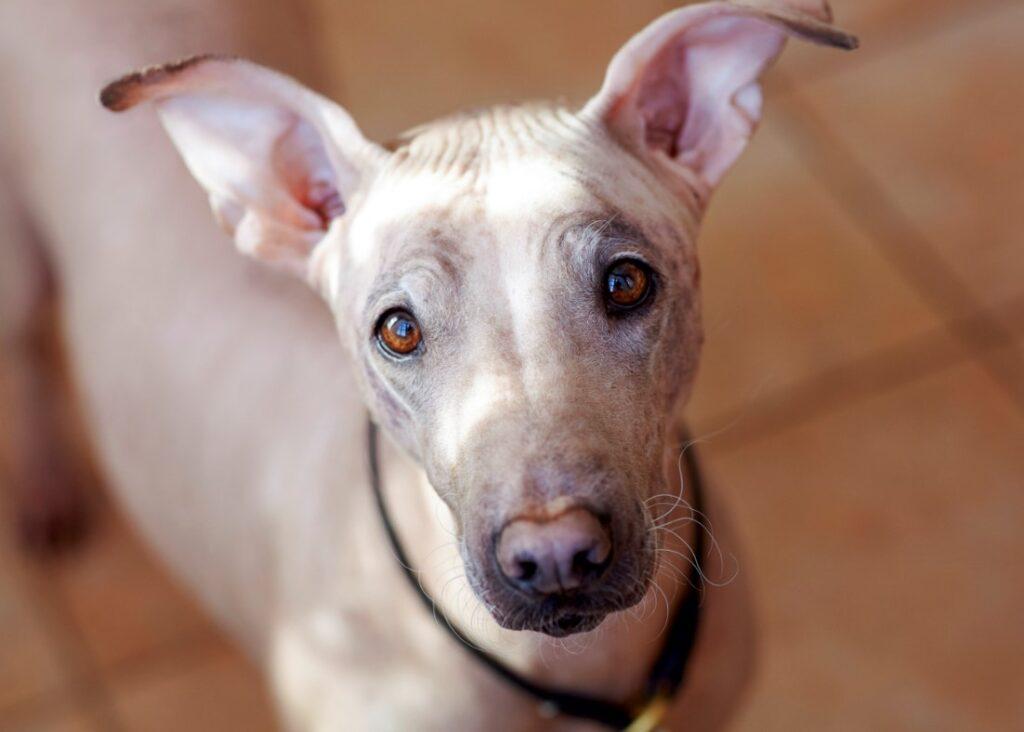 american hairless terrier staring at camera