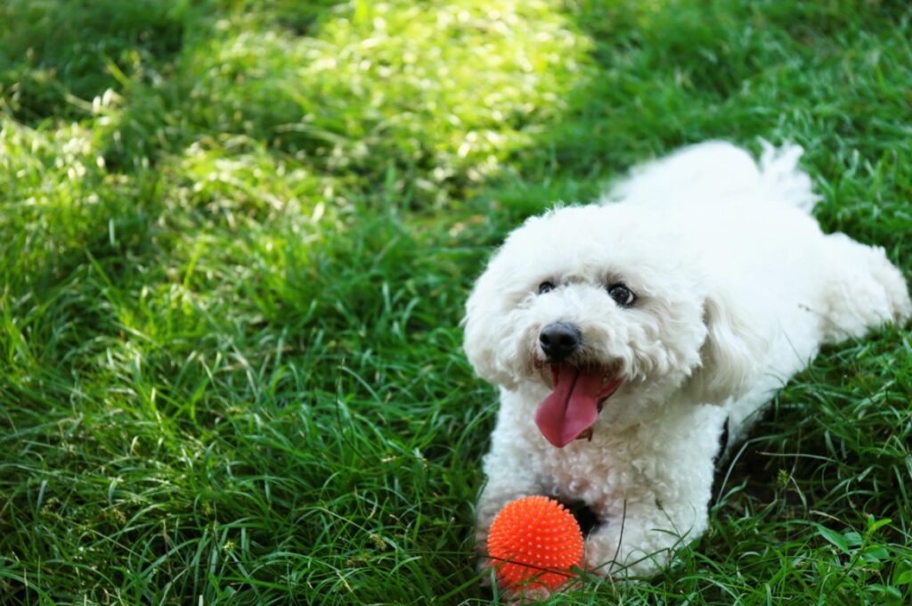bichon frise with ball in the grass