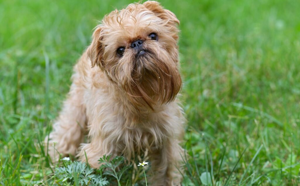brussels griffon in the grass