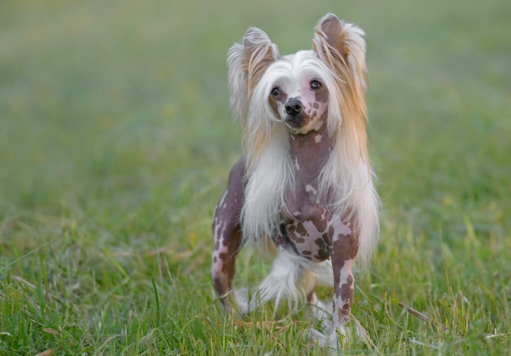 chinese crested
