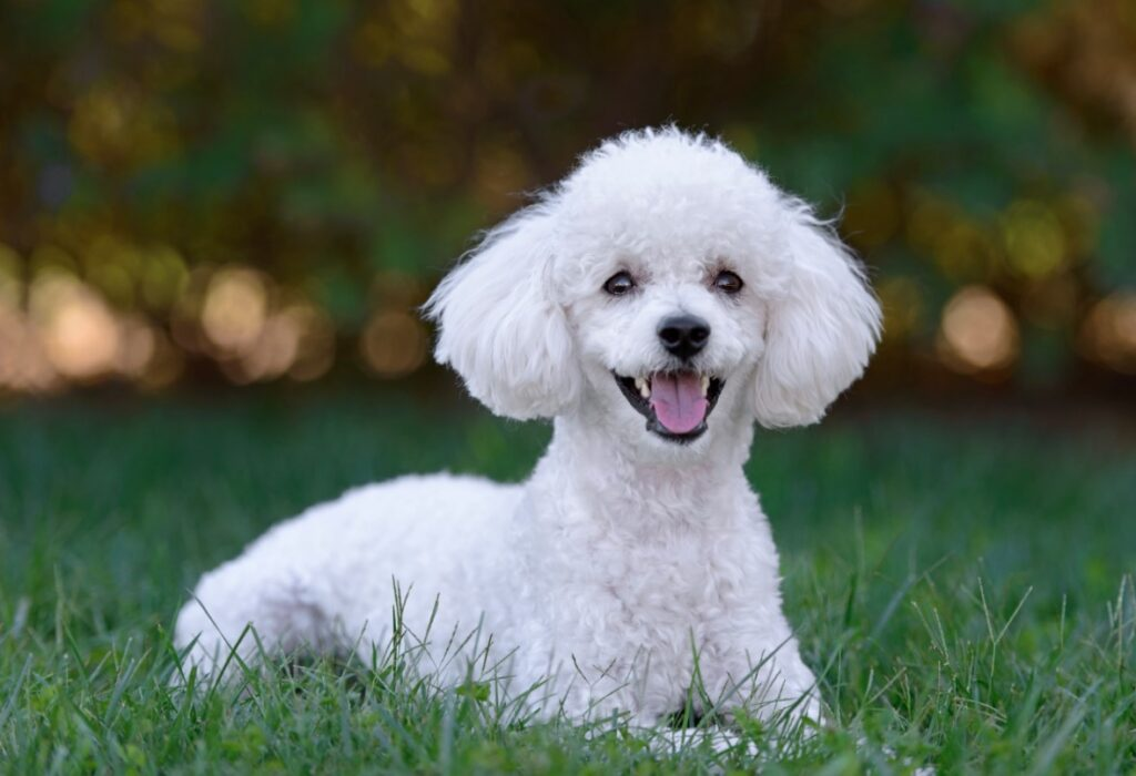 poodle in grass