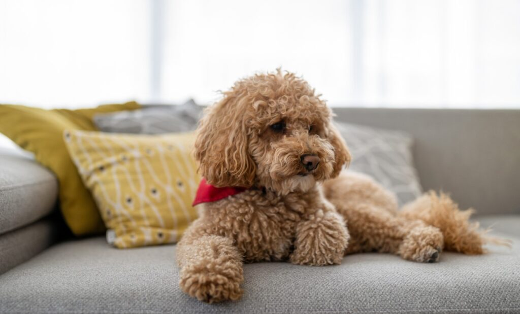 toy poodle on couch