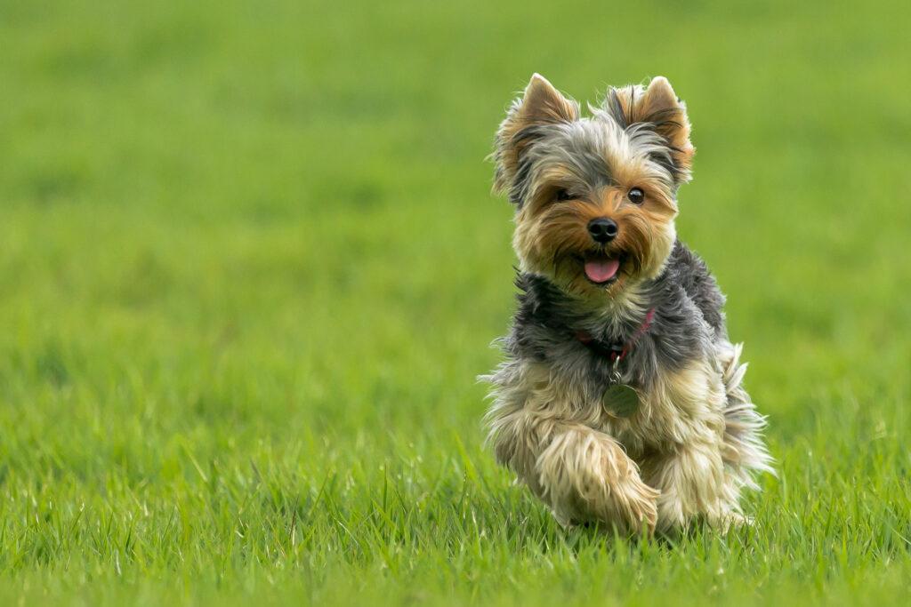 yorkie running in the grass