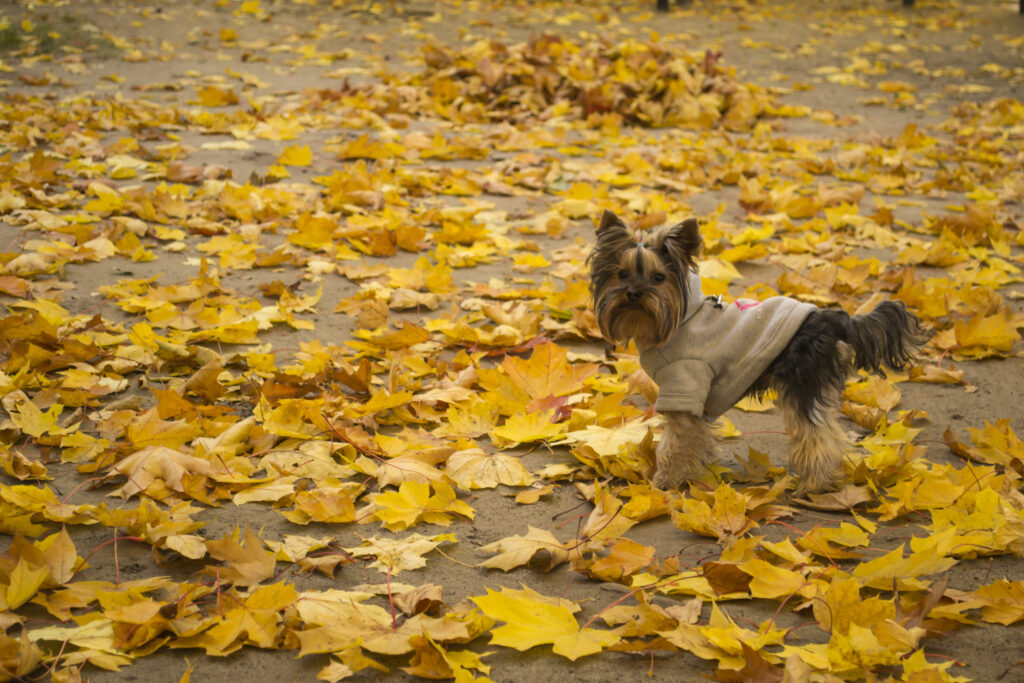 yorkshire terrier in autumn walking on leaves