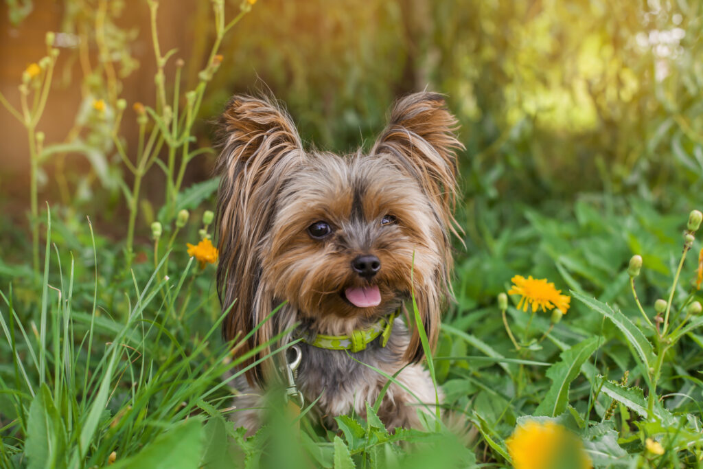 yorkshire terrier in the flowers and grass