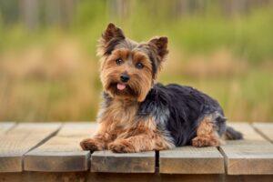 yorkshire terrier sitting on decking