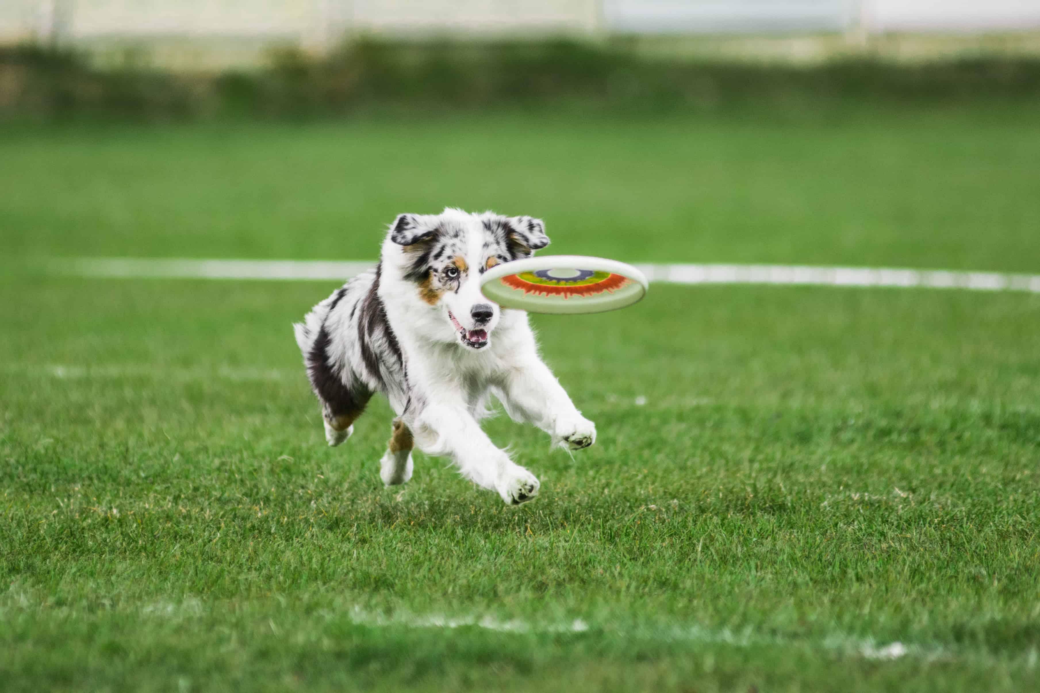 australian shepherd running for flying disk