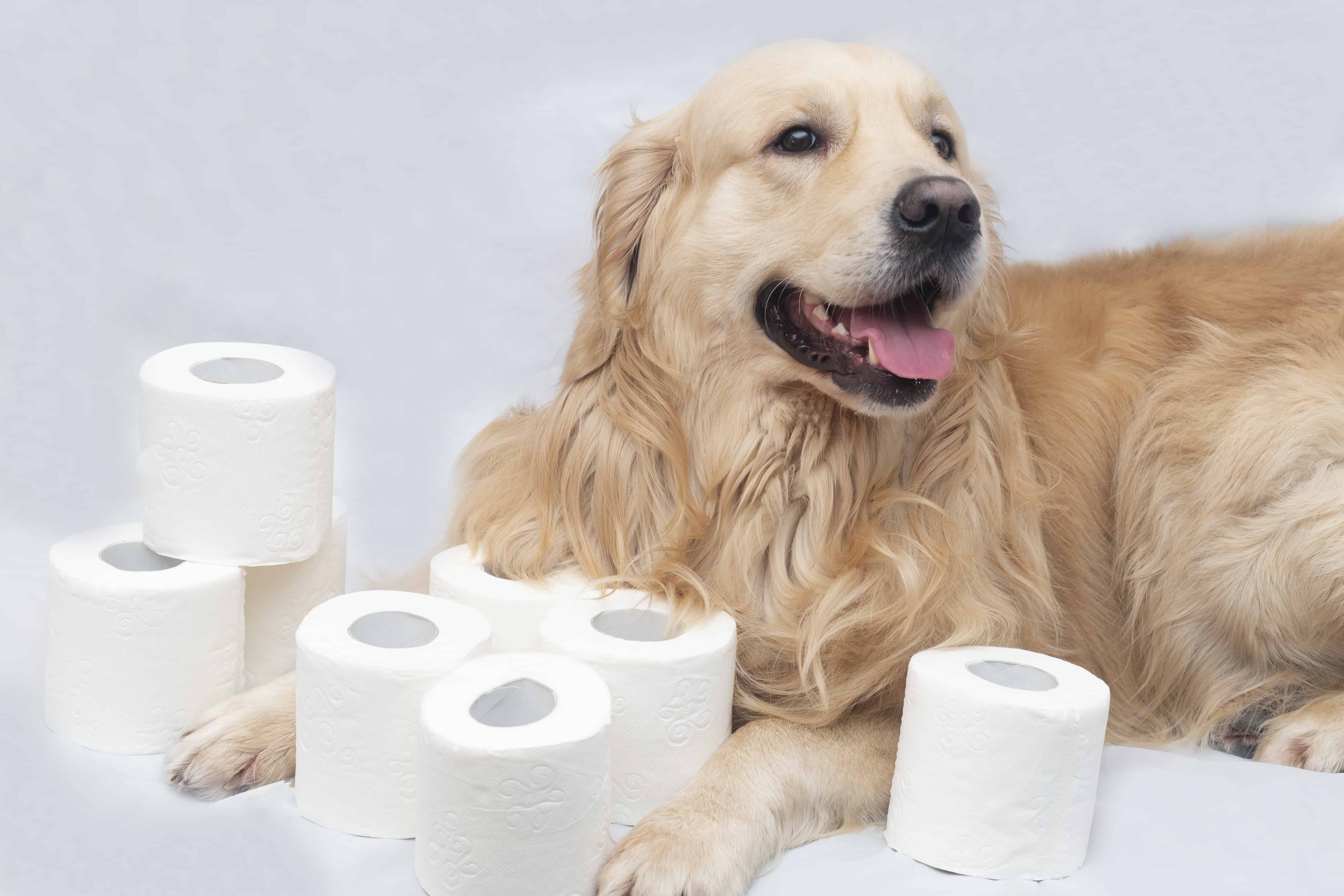 White toilet paper on white background with dog.