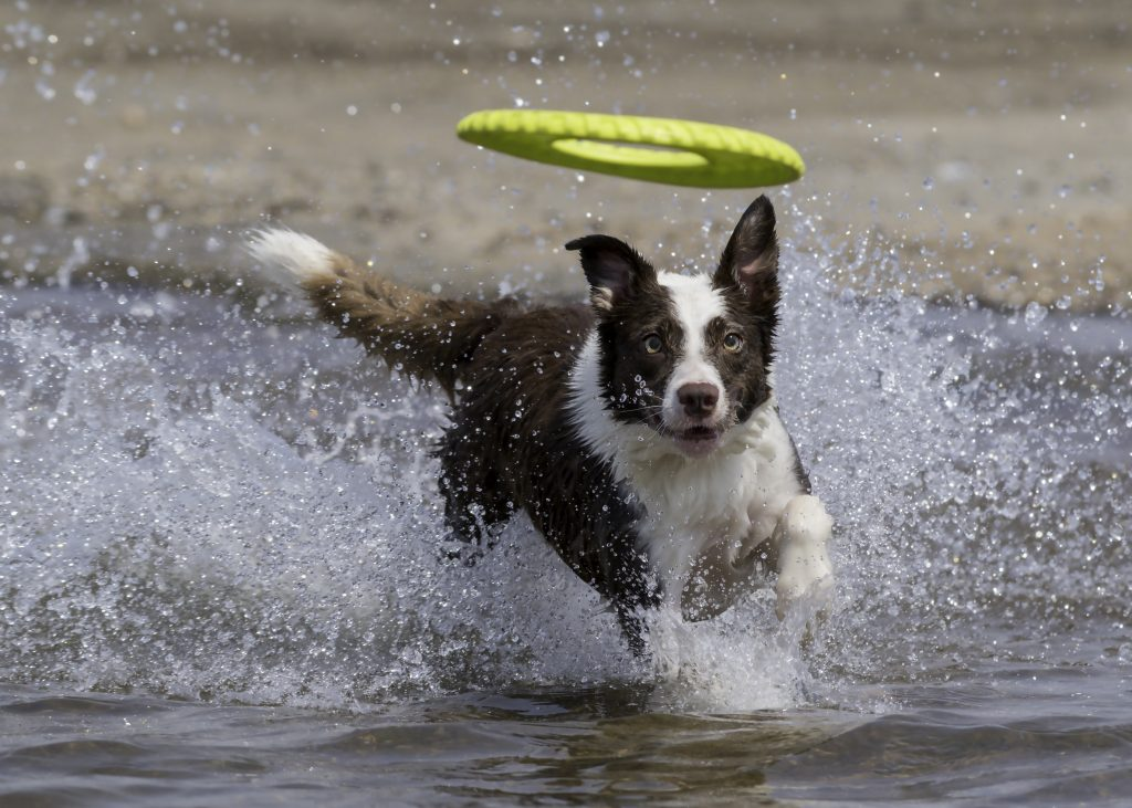 border collie chasing frisbee in the water