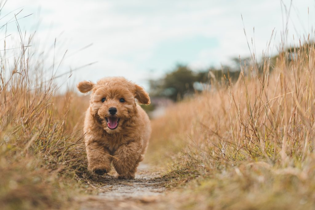 Brown poodle puppy playing on the field.