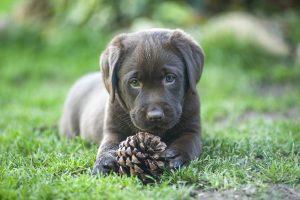 chocolate labrador with pine cone